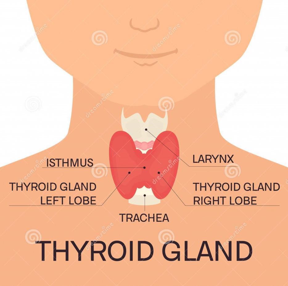 Thyroid Gland Guide