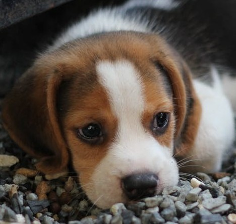 picture of beagle puppy