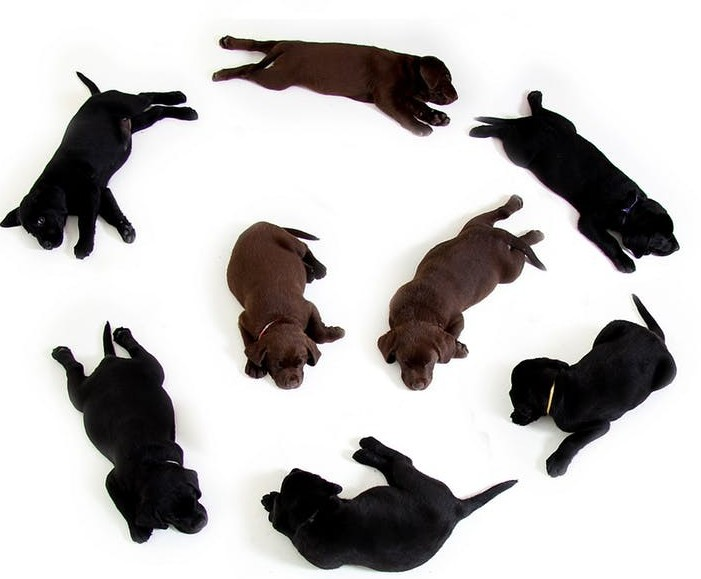 litter of lab puppies