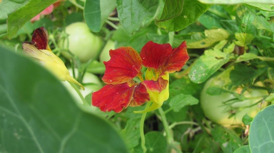 Zesty Nasturtium Flowers - An Awesome Addition to Your Salad