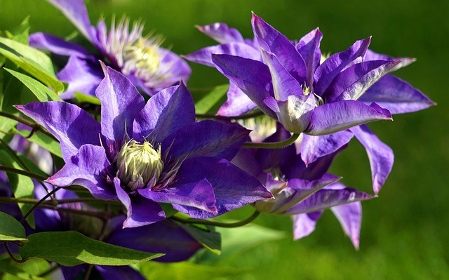 Clematis Jackamanii Photo by matthiasboeckel at Pixabay