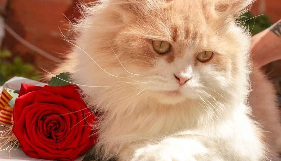 Fluffy cat with a red rose