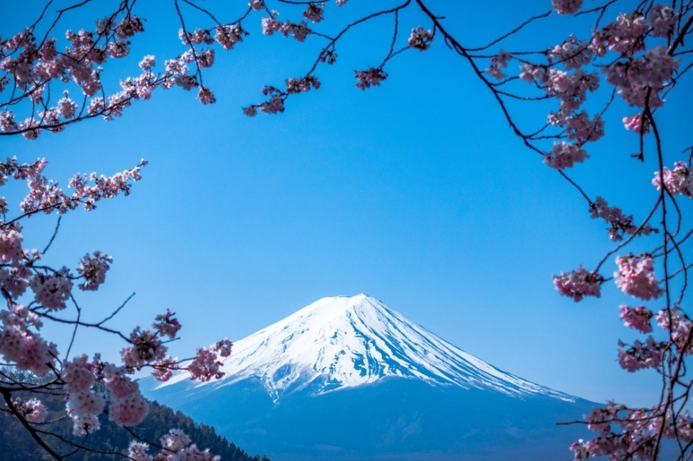 Hanami under the Cherry Blossom Tree, with Mount Fuji in the background. Photo by JJ Ying.