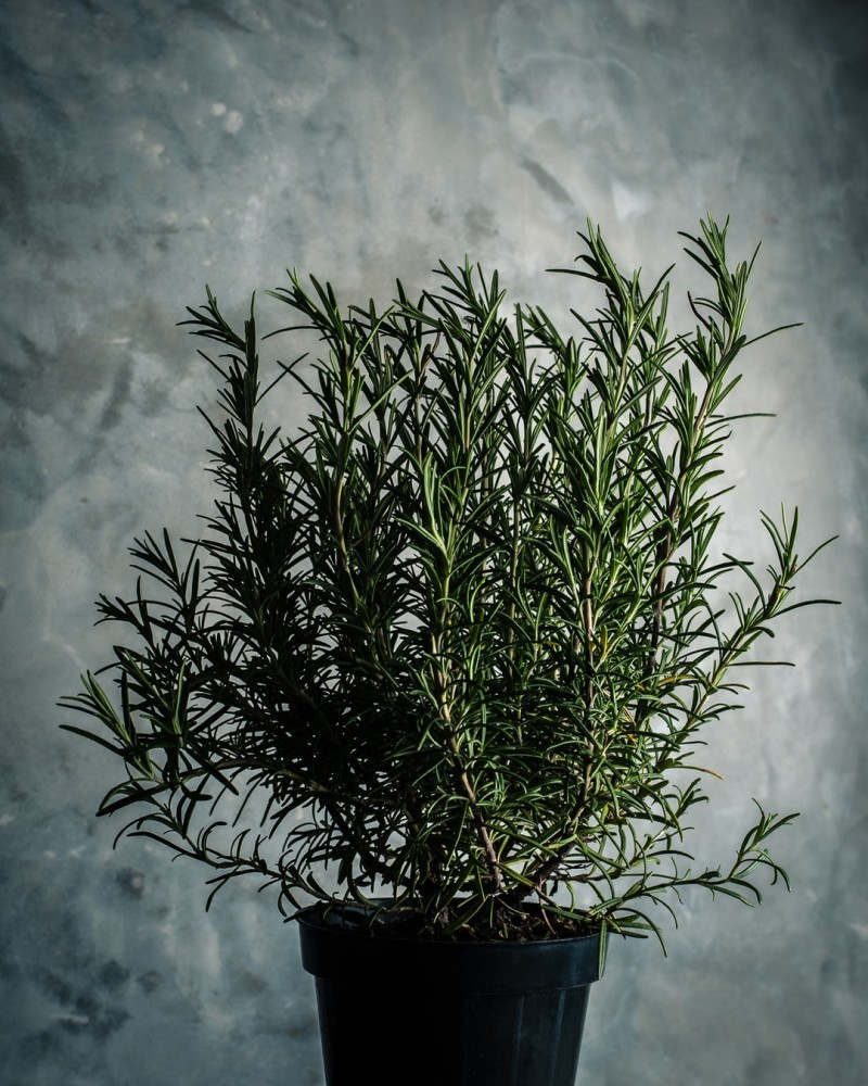 Rosemary Herb. Photo by Vincent Foret