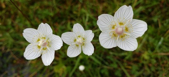 Grass of Parnassus. Photo by KTTrainer.
