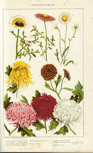 Chrysanthemums. New International Encyclopedia