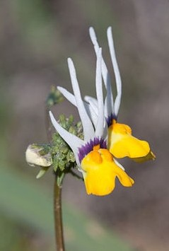 Nemesia cheiranthus. Photo by Julie Anne Workman
