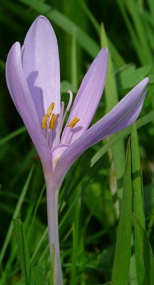 Colchicum or Autumn Crocus. Photo by Hans.