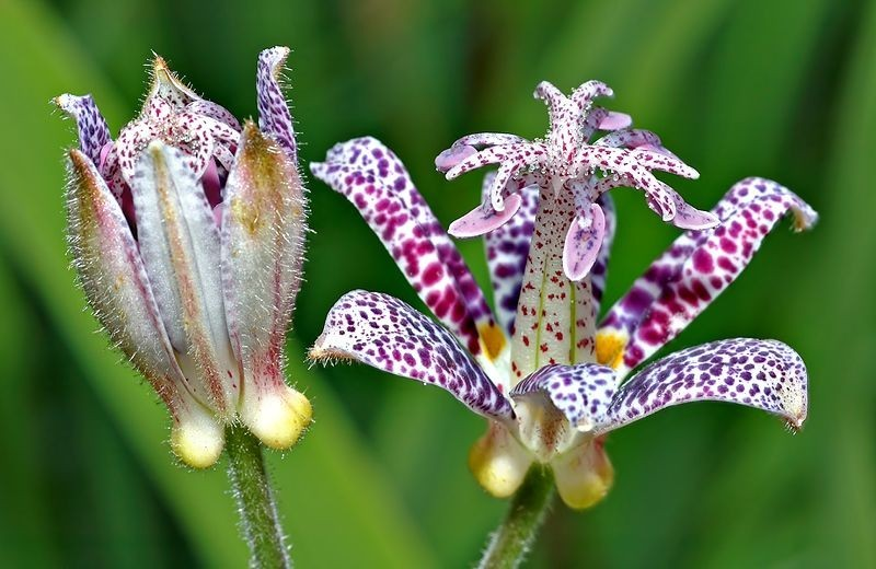 Japanese Toad Lily. Photo by André Karwath aka Aka