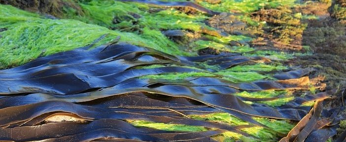 kelp is a brown algae with many health benefits.