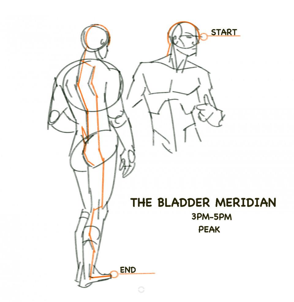 The bladder meridian