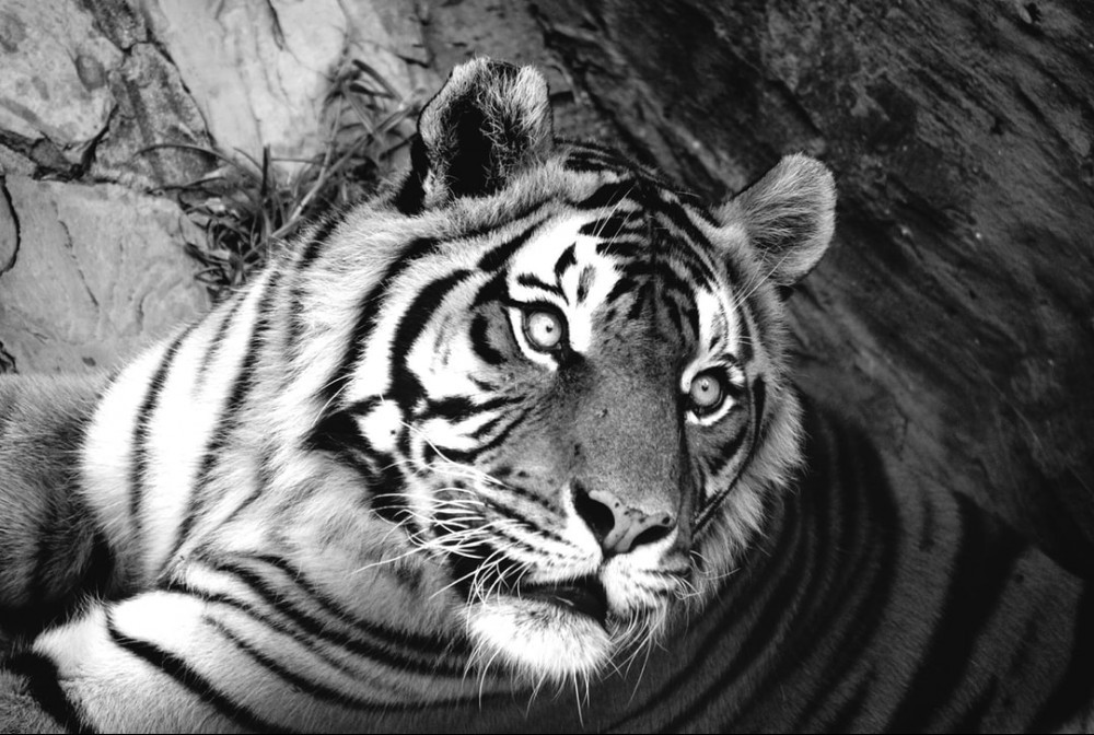 beautiful tiger creature