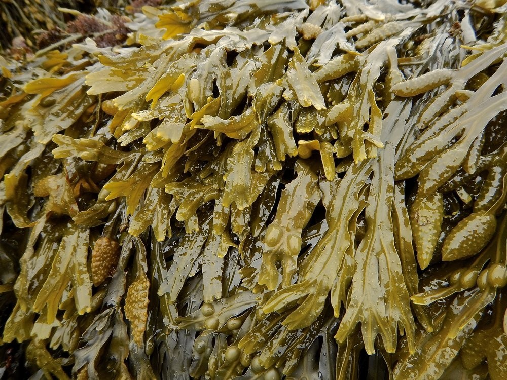 What Are The Health Benefits of Seaweed? The Ultimate Super Food!