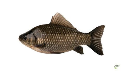 What Does a Carp Look Like - crucian carp