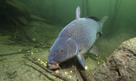 Carp Facts - Carp Feeding on Bottom