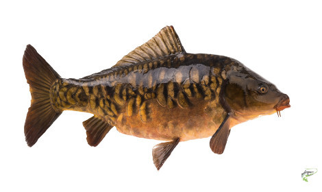 What Does a Carp Look Like  - Mirror Carp on white background