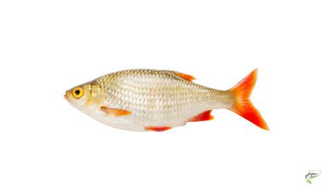 Types of Coarse Fish - Rudd