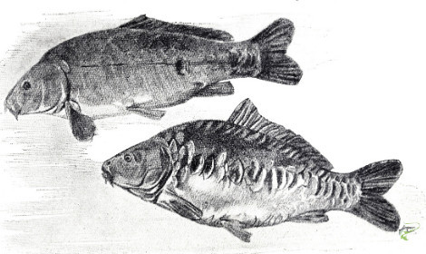 Carp Facts - mirror carp drawing