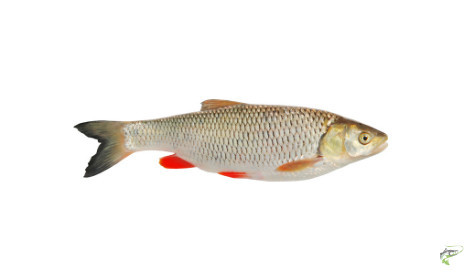 Types of Coarse Fish - Ide