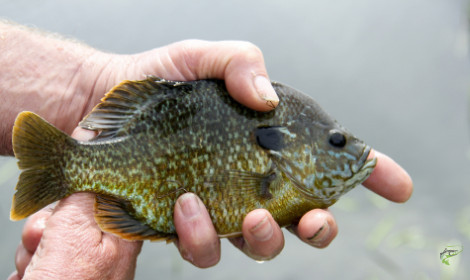 Types of Panfish -  Bluegill in anglers hands