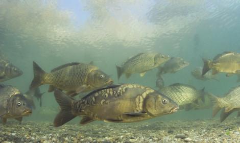 Types of coarse fish - mirror carp and common carp swimming underwater