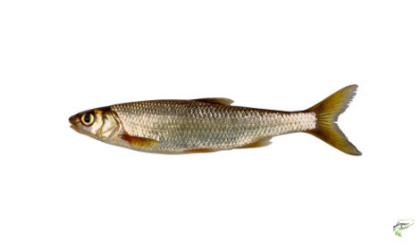 Types of Coarse Fish - Dace