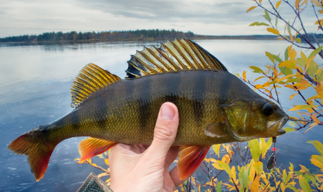 Types of Panfish -  Yellow perch in anglers hands