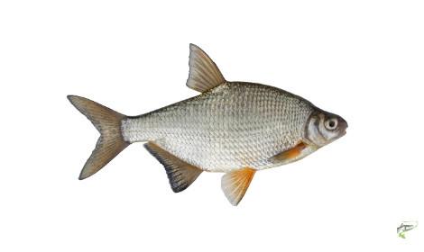 Types of Coarse Fish - Bream