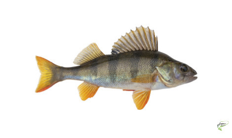 Types of Coarse Fish - Perch