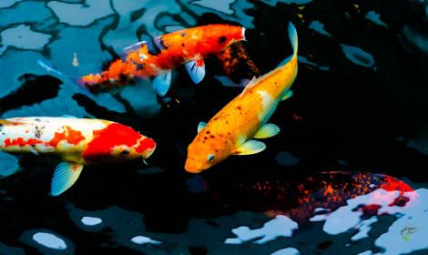 Carp Facts -  koi carp swimming in dark coloured water
