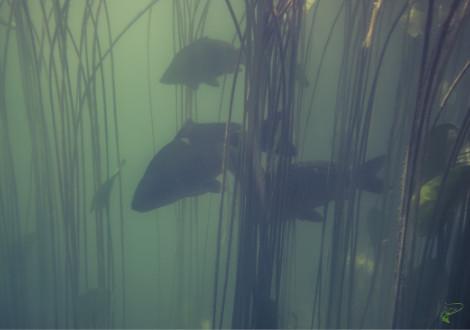 What is coarse fishing - carp underwater