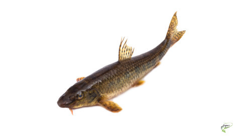 Types of Coarse Fish - Gudgeon