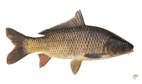 Types of coarse fish  - Common Carp on white background