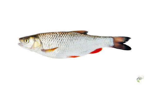 Types of Coarse Fish - Chub
