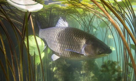 Grass Carp vs Common Carp - Grass Carp Swimming