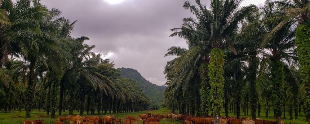 Oil palm palm plantation