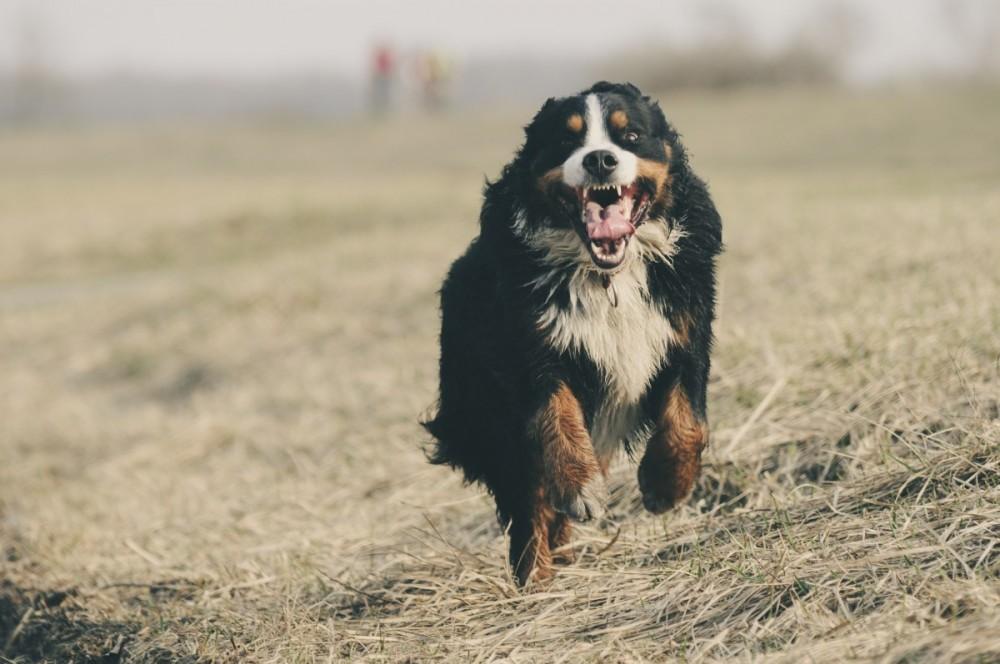 dog running across grassy field