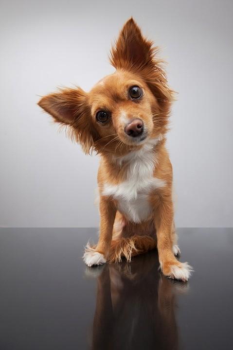 small dog tilting head at camera