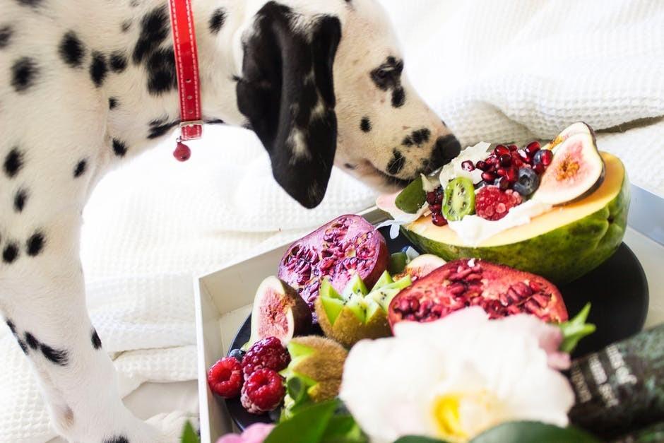 dalmatian puppy eating fruit