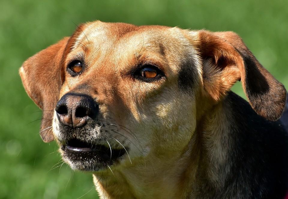 brown dog looking straight ahead