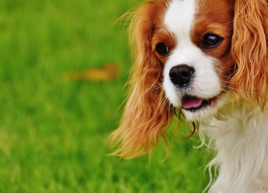 cavalier king charles spaniel outdoors