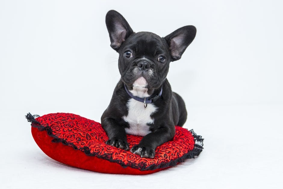 black puppy lying on red pillow