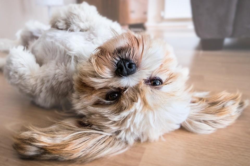 fluffy dog rolling over