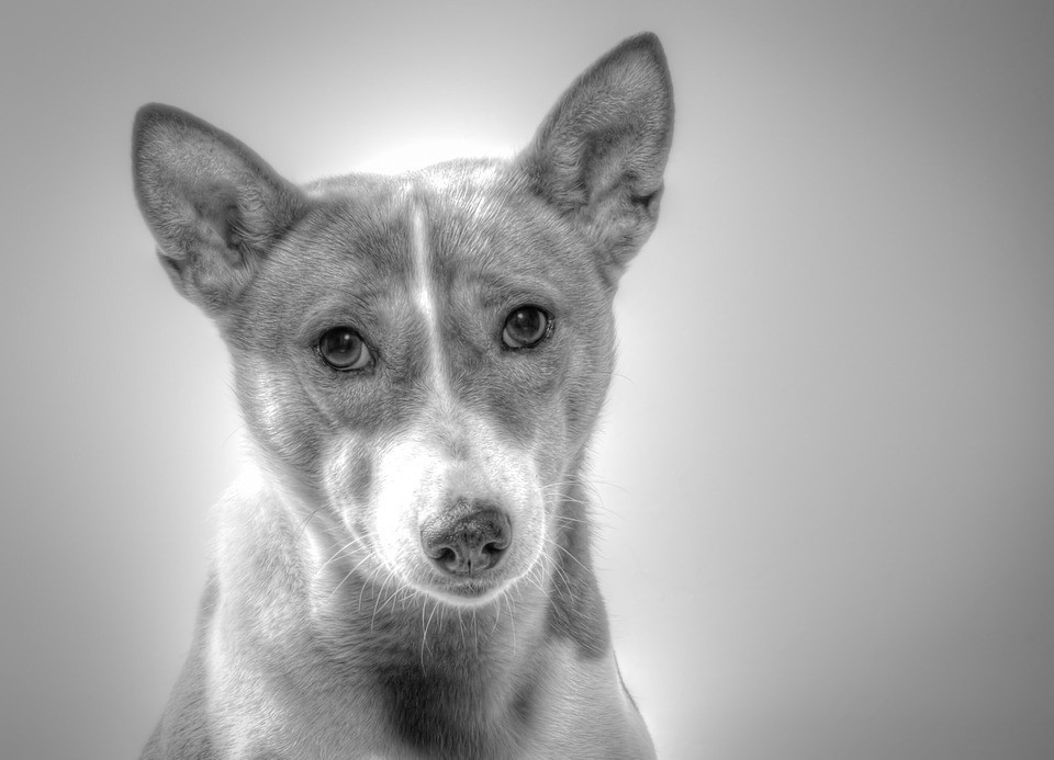 basenji in black and white