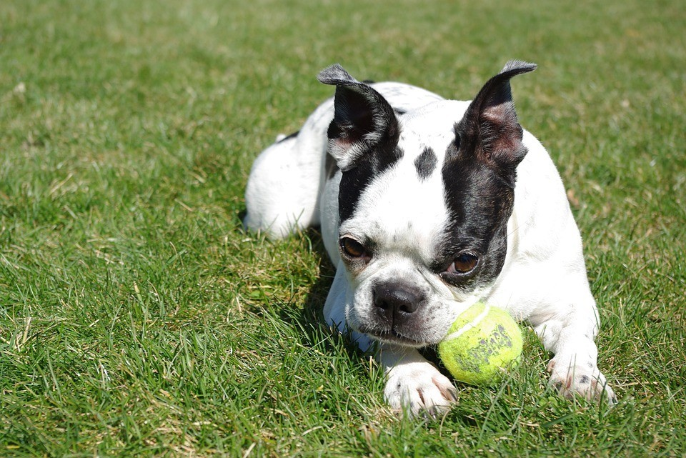 boston terrier playing with tennis ball