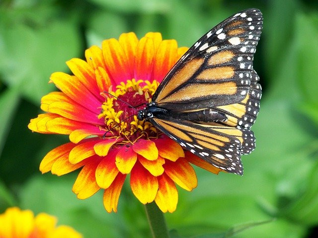 Monarch butterfly feeding on an orange flower.