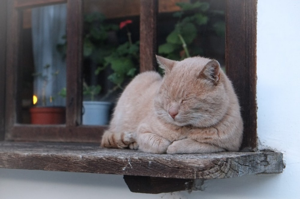 Chubby Orange Tabby Cat Sleeping on a Window Sill