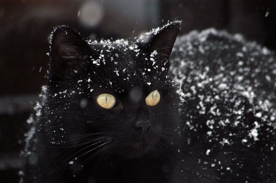 Black Cat Covered by Snow