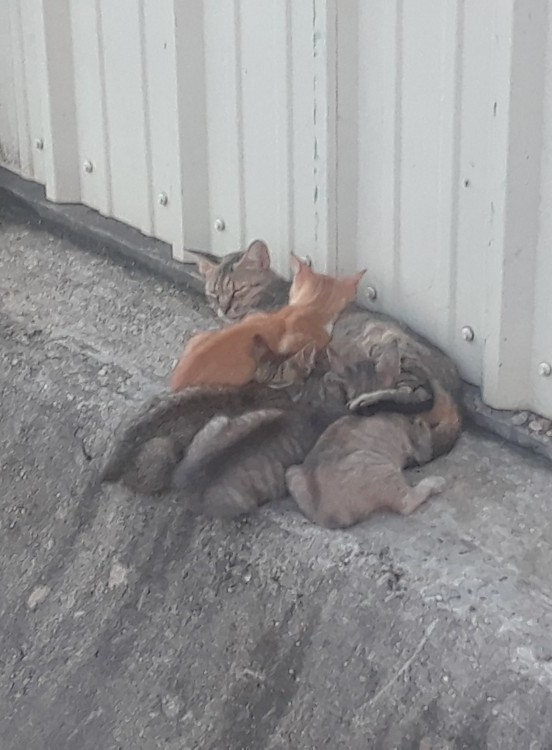 Mama Cat and Four Kittens before TNR
