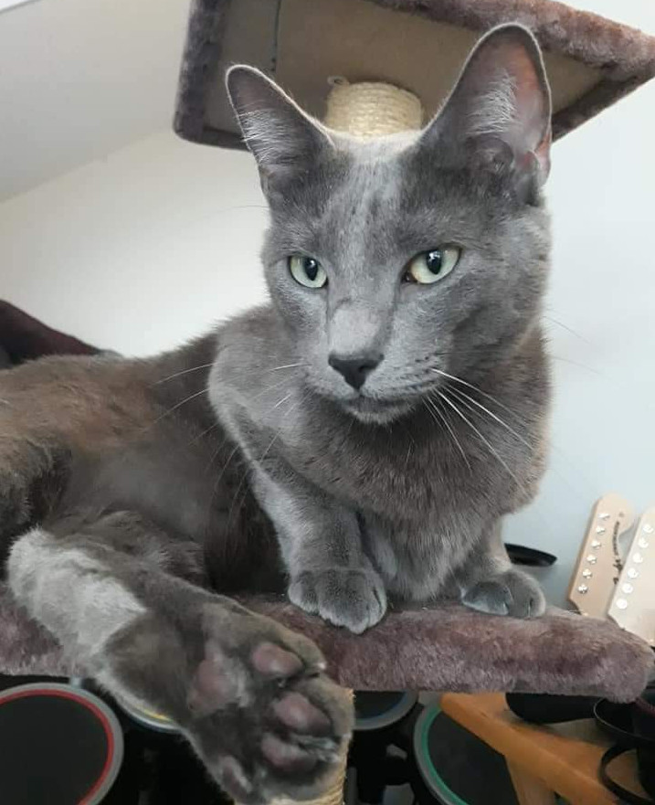 Smoky, a gray cat, at his new home!